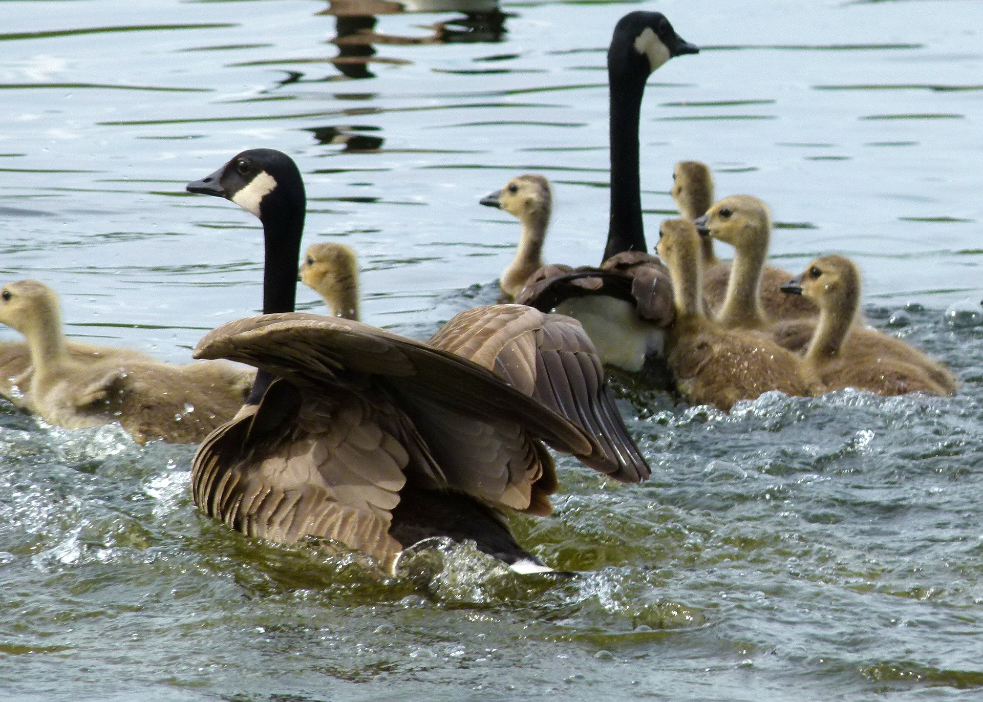 canada geese with goslings - canada geese nesting habits