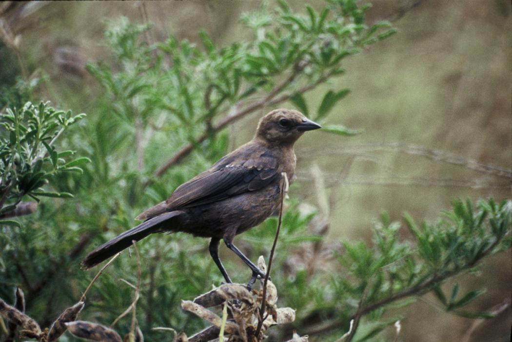 female cowbird - how to get rid of cowbirds