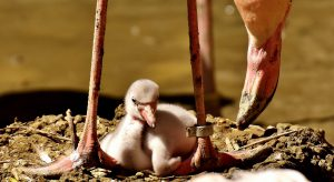 baby flamingo - where do flamingos live