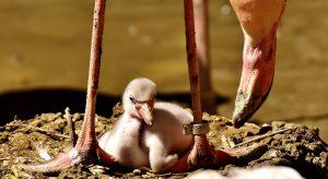 baby flamingo - where do flamingos live