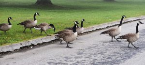goose crossing - canada geese nesting habits