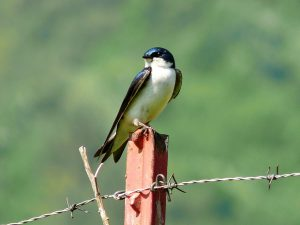 tree swallow - tree swallow bird houses
