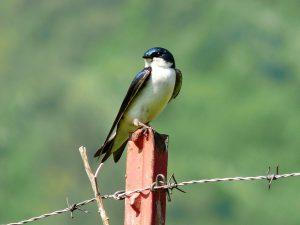 tree swallow - tree swallow bird houses