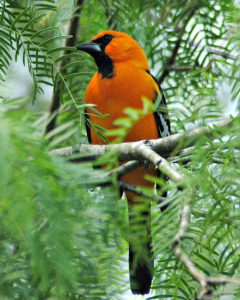 altamira oriole - how to attract orioles