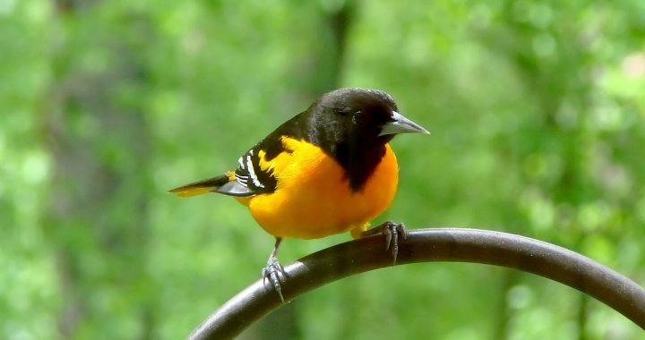 baltimore oriole- how to attract orioles