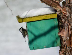 chickadee in nest box - birds that nest in birdhouses
