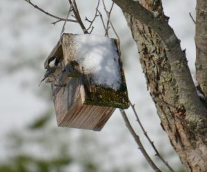 chickadee at nest box - birds that nest in birdhouses