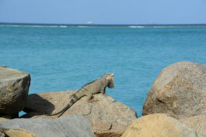 Iguana - flamingo beach aruba