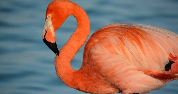 flamingo - flamingo beach aruba
