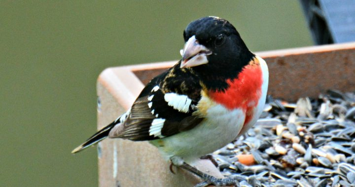 rose breasted grosbeak - attracting rose breasted grosbeaks