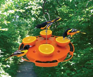 oriole feeder - how to attract orioles to your yard