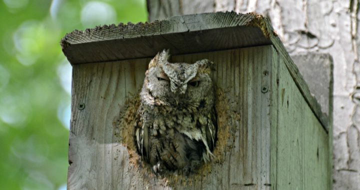 Screech Owl in Nest Box - Birds that nest in birdhouses