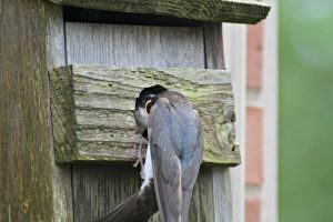 Tree Swallow in nest box - birds that nest in birdhouses