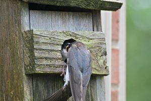 Tree Swallow in nest box - birds that nest in birdhouses