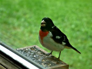 Male Rosebreasted Grosbeak - attracting rose-breasted grosbeaks