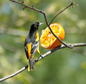 baltimore oriole - how to attract orioles to your yard