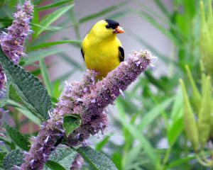 goldfinch on flower - what do goldfinches eat