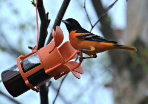 baltimore oriole at jelly feeder - backyard birds