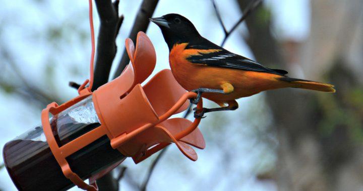baltimore oriole at jelly feeder - backyard birds