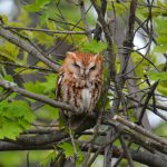 eastern screech owl - what do birds do at night