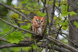 eastern screech owl - what do birds do at night