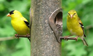 male and female goldfinch on feeder - what do goldfinches eat