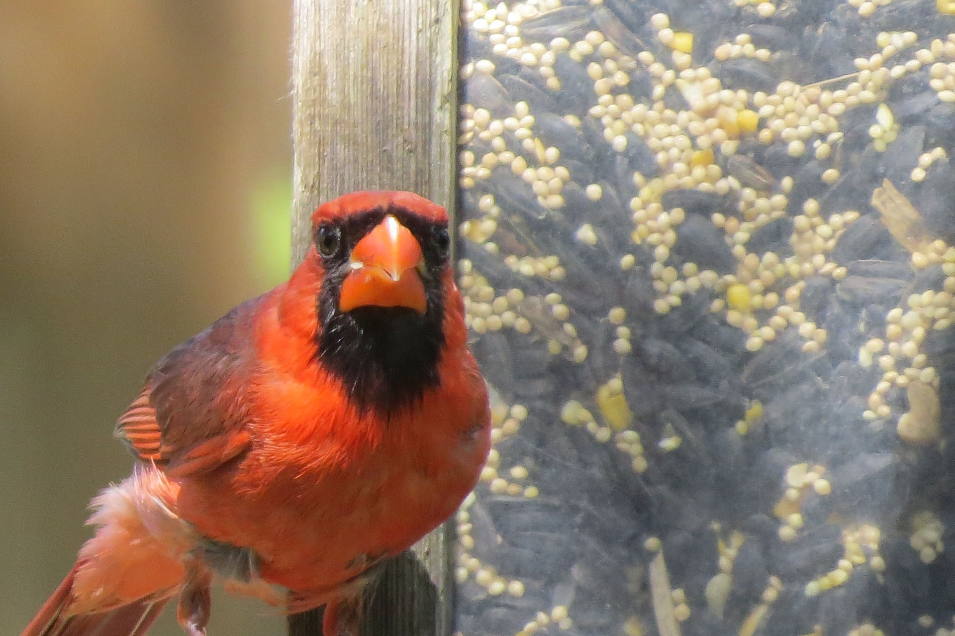 northern cardinal - why do birds hit windows