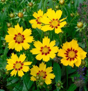 coreopsis - what do goldfinches eat