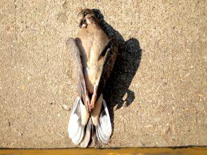 stunned bird - why do birds fly into windows