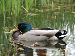 sleeping mallard duck - what do birds do at night