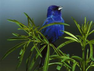 indigo bunting in tree - birds in backyard