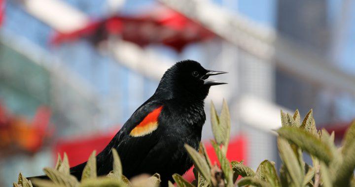 red-winged blackbird - red-winged blackbird attacks