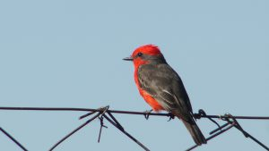 scarlet tanager - birds in backyard