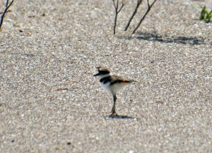 baby killdeer- what is a killdeer