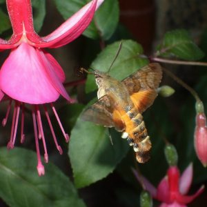 hummingbird moth - hummingbird moth facts