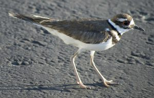 killdeer - what is a killdeer