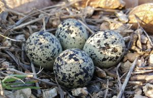 killdeer eggs - what is a killdeer