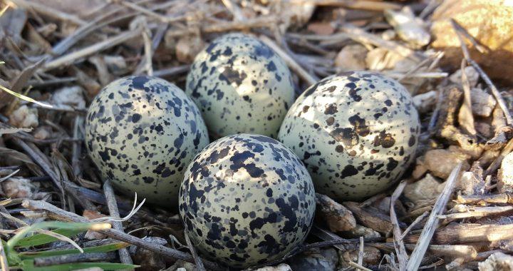 killdeer eggs - what is a killdeer