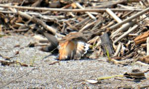 Killdeer broken wing act - what is a killdeer