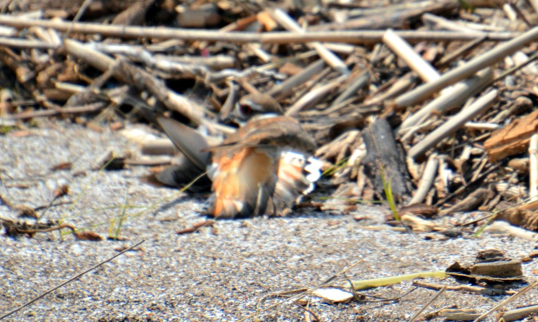 Killdeer broken wing act - what is a killdeer