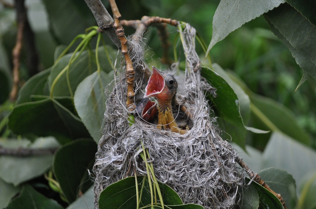 baby birds in nest - what is a fledgling