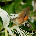 hummingbird moth - hummingbird moth facts