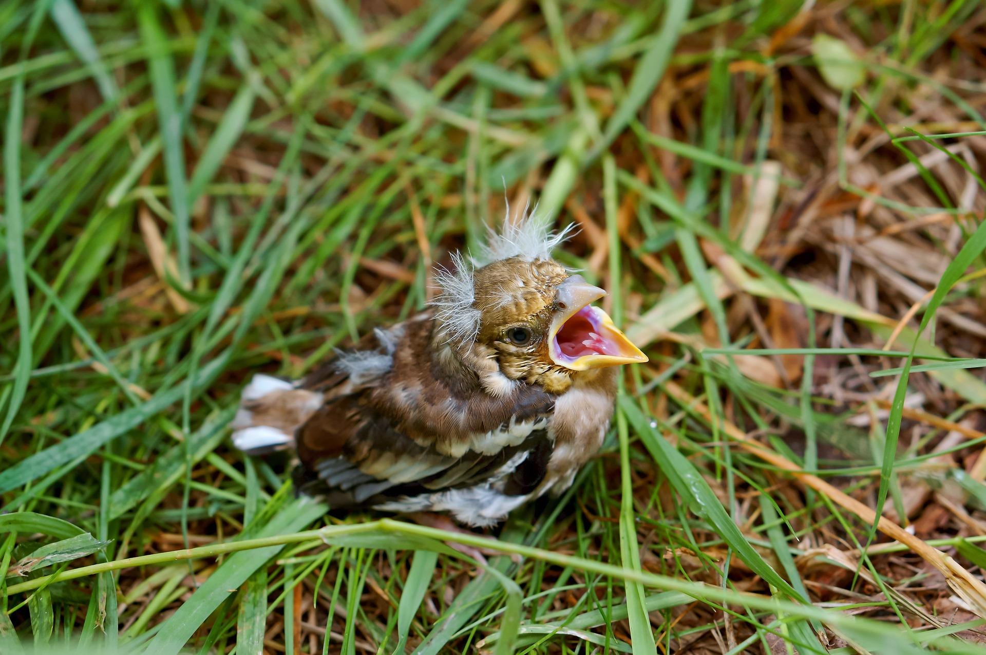 baby bird - what is a fledgling