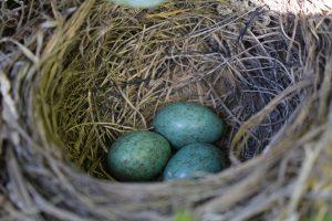 bird nest - identifying bird eggs is easy