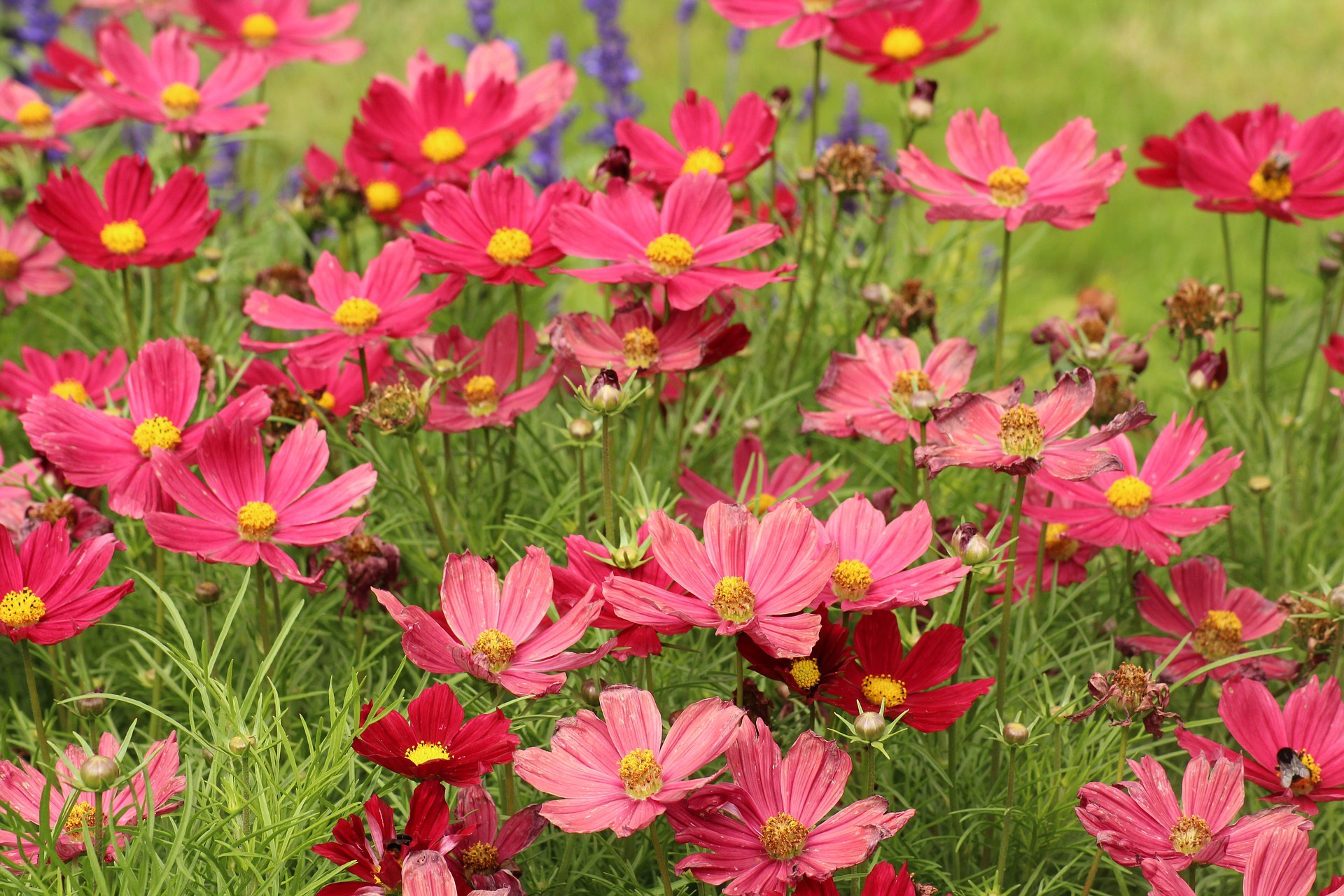 cosmos flower - top 10 flowers that attract butterflies and hummingbirds