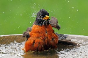 american robin - water is for the birds