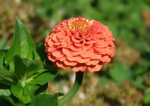 zinnia - top 10 flowers that attract butterflies and hummingbirds