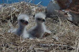 baby bald eagles - when do birds leave the nest