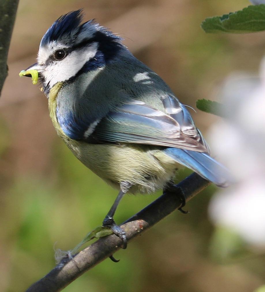 blue tit eating a caterpillar - do birds eat butterflies