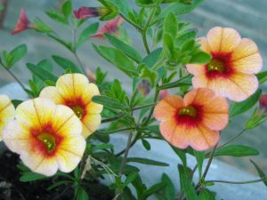 calibrachao flower - top 10 flowers that attract butterflies and hummingbirds